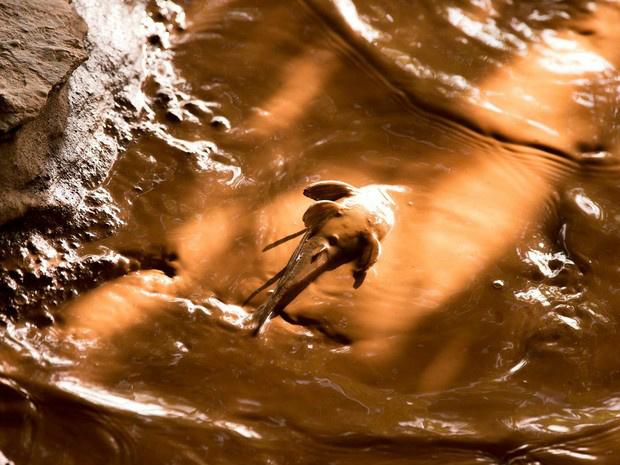 Peixe na lama de mineração, no Rio Doce em 12/11/2015. Foto: Leonardo Merçon/ Instituto Últimos Refúgios -