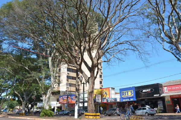 Árvores de Dourados serão cortadas para evitar acidentes. -