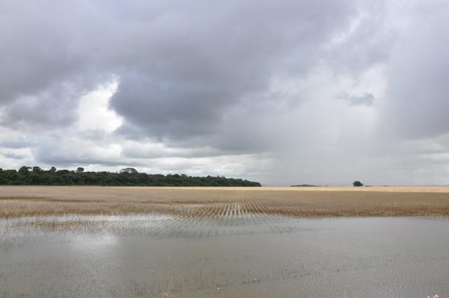 Lavouras inteiras ficaram submersas e só ontem, com a estiagem, produtores recomeçaram a colheita. - Crédito: Foto: Hedio Fazan