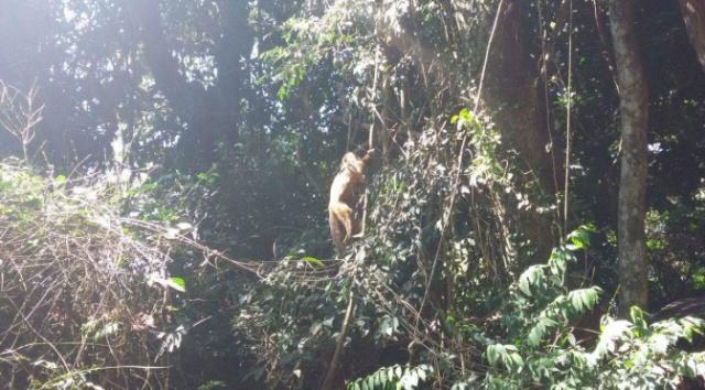 PMA devolve ao habitat macaco-prego que caiu de rede elétrica. - Crédito: Foto: PMA