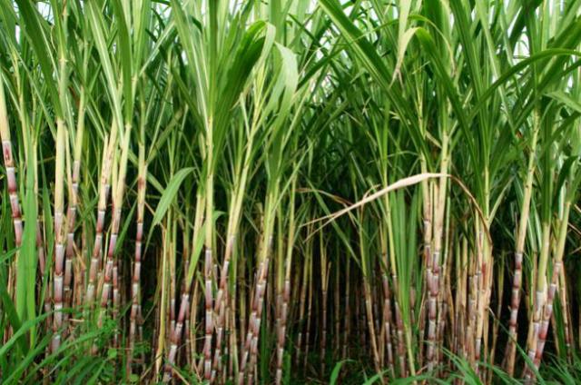 A safra 2016/2017 de cana-de-açúcar no Brasil deverá chegar a 691 milhões de toneladas, um aumento de 3,8% em relação à anterior. - Crédito: Foto: Divulgação