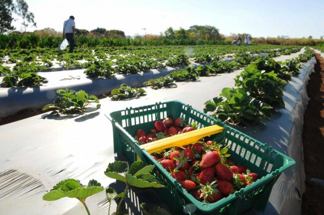 No Brasil ainda se consomem frutas, verduras e legumes que cresceram com a ajuda de agrotóxicos - Crédito: Mary Leal/Agência Brasíl