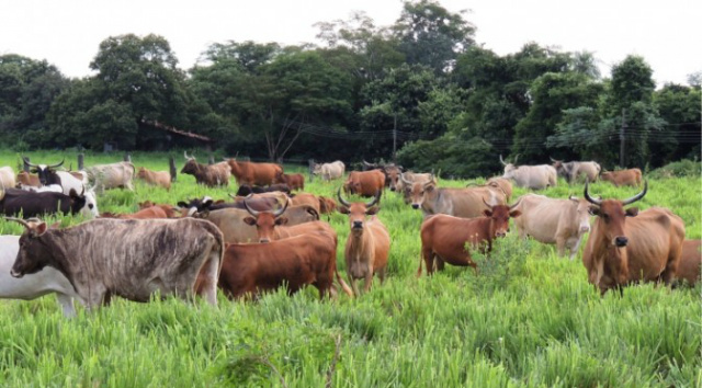 Órgão da ONU destaca pesquisa com bovinos pantaneiros da UEMS. - Crédito: Foto: Divulgação