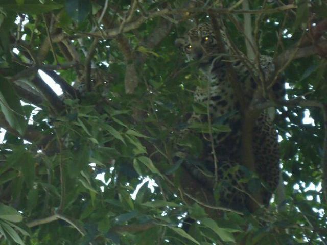 Onças-pintadas estavam em árvore, no quintal de uma residência - Crédito: Foto: Weberson Sousa/Arquivo Pessoal