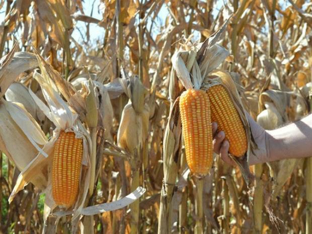 Aprosoja/MS mantém projeção de colheita de 6,2 milhões de toneladas de milho na safrinha em MS - Crédito: Foto: Aprosoja-MS/Divulgação