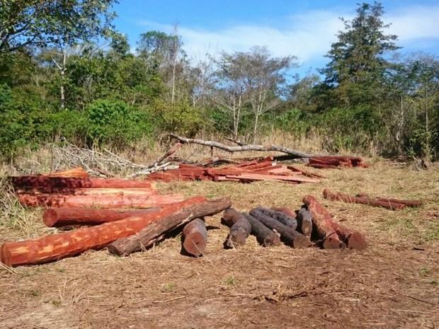 Quantidade de madeira extraída chamou a atenção do Ibama - Crédito: Foto: Rodrigo Grando/TV Morena