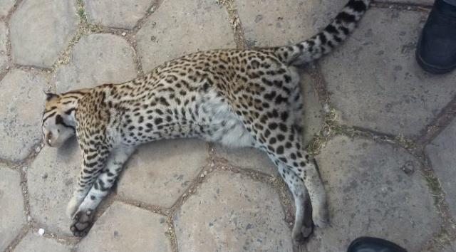 PMA recolhe jaguatirica atropelada próximo ao anel rodoviário de Corumbá -