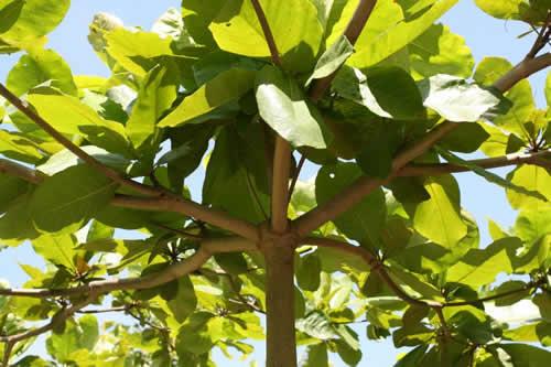 A poda ou corte de árvore sem licença é crime e pode resultar em multa e até detenção -
