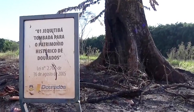 Fogo queimou parte da base do jequitibá tombado como Patrimônio Histórico da cidade - Crédito: Reprodução
