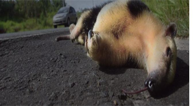 Uems e Agesul promovem monitoramento de animais atropelados em MS -