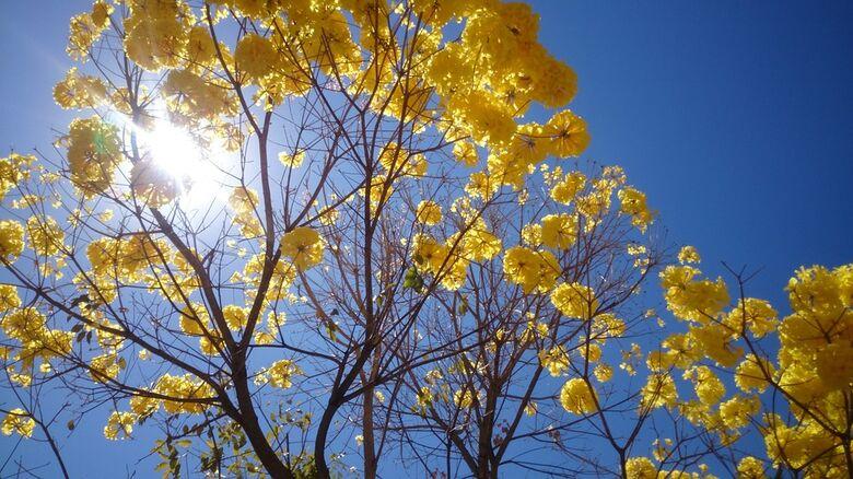 Ipê-Amarelo torna árvore símbolo do Estado de Mato Grosso do Sul -