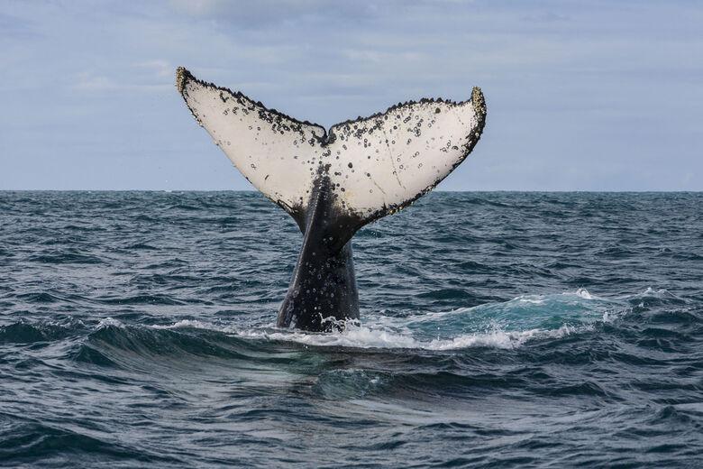 Japão retomará no próximo ano caça de baleias em seu território - Crédito: Jonathan Wilkins/Wikimedia Commons