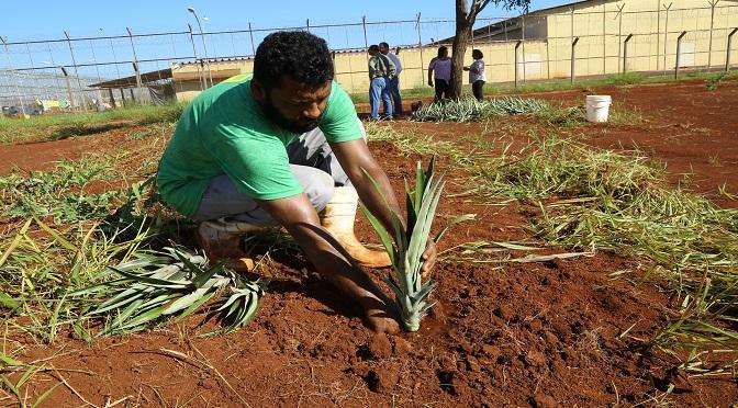 Segundo a Prefeitura, foram doadas 1500 mudas de abacaxi para o plantio. - Crédito: Divulgação
