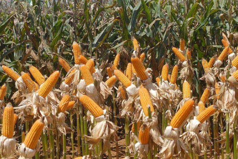 Previsão de produção do grão é de 95 milhões de toneladas - Crédito: Elza Fiúza/Agência Brasil