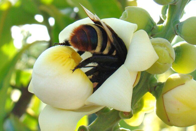 Brasil conclui testes de soro inédito para picadas múltiplas de abelha - Crédito: Marcelo Casimiro Cavalcante/Rebipp