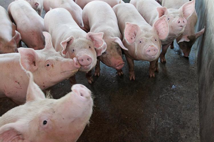 Preço médio por quilo do suíno vivo em Mato Grosso do Sul valoriza 23% - Crédito: Divulgação
