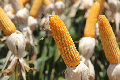 Milho perde 200 mil hectares de área de plantio no MS -