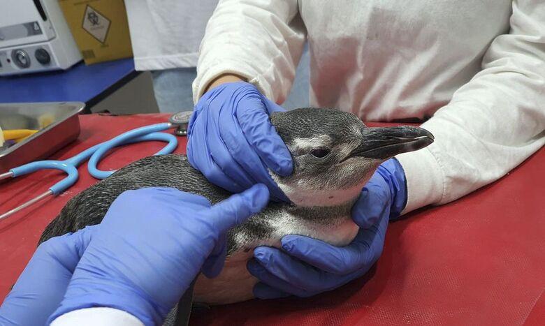 Petrobras resgatou este ano 3.084 pinguins nas praias brasileiras - Crédito: Divulgação/Agência Petrobras