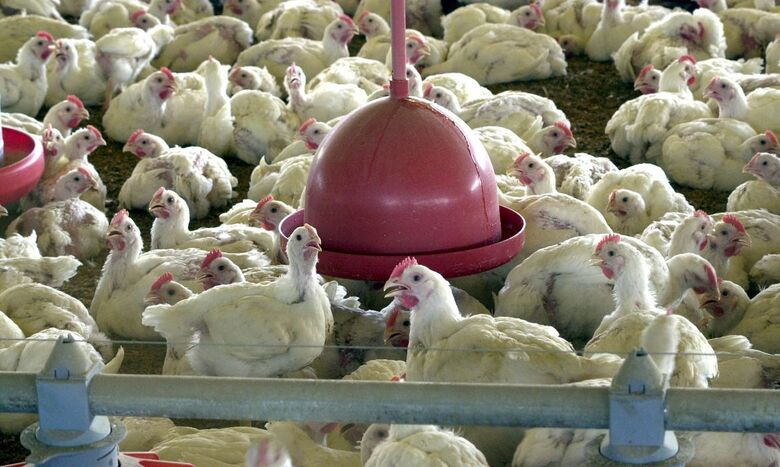 Brasil pede explicações à China sobre frango supostamente contaminado - Crédito: Arquivo/Agência Brasil