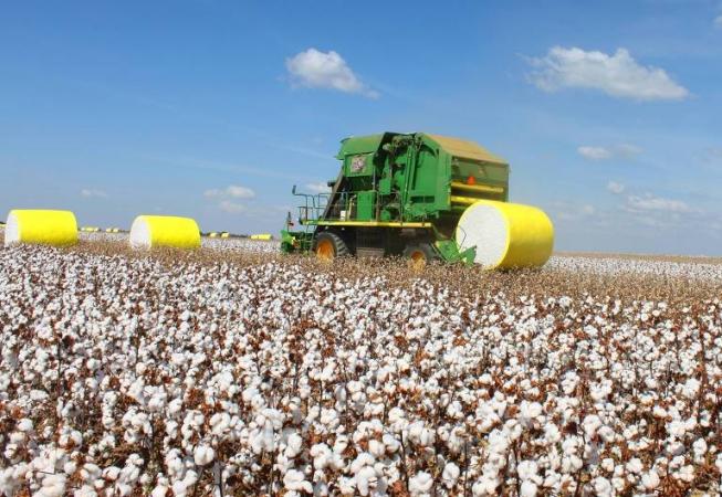 MS finaliza colheita do algodão com 86% da safra comercializada -