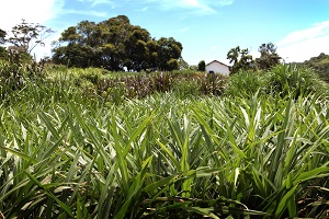 Cultivar de capim-elefante é usada na alimentação de peixes e aves - Crédito: Divulgação