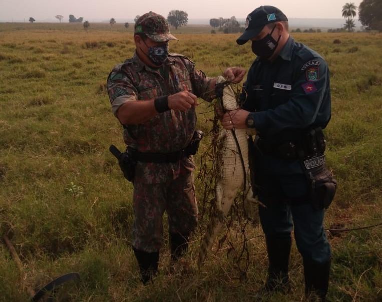 Jacaré é fisgado por anzol armado por caçadores próximo da cidade - Crédito: Divulgação