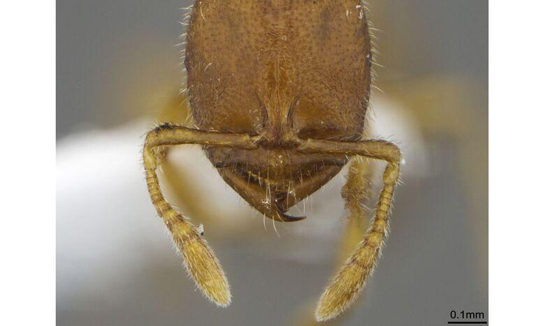 Pesquisadores da UFPR descobrem mais quatro espécies de formiga - Crédito: Natália Ladino