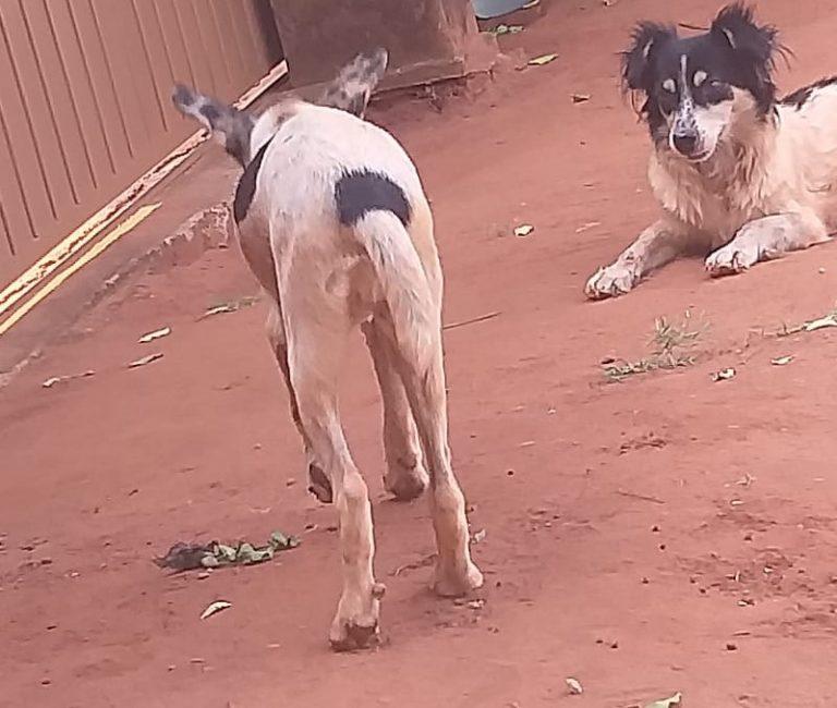 PMA de Bataguassu autua homem por maus-tratos a dois cães -