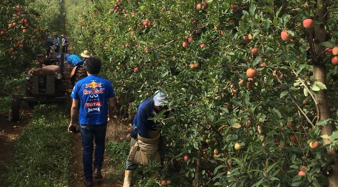 Funtrab prepara plano de biossegurança para indígenas que vão trabalhar na colheita da maçã no RS e SC -