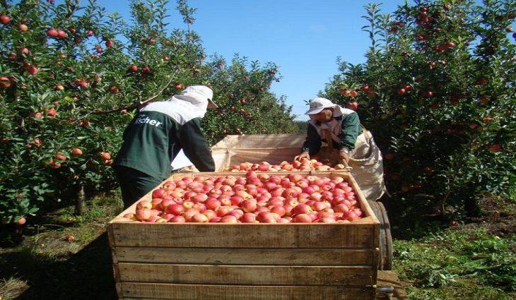 Indígenas de MS começam ser contratados para colheita da maçã no sul do País - Crédito: Funtrab